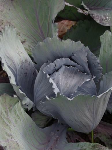 Brassica oleracea 'Langedijker Bewaar 2' - Rode kool