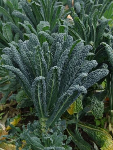 Brassica oleracea 'Nero di Toscane' - Tocaanse palmkool , Zwarte bladkool