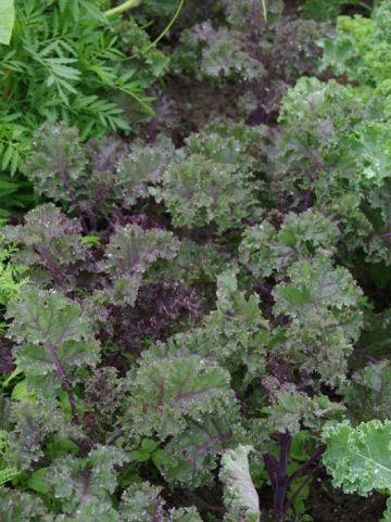 Brassica oleracea 'Redbor' - Rode boerenkool , Boerenkool, rood