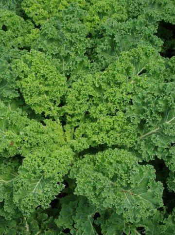Brassica oleracea var. acephala  - Boerenkool
