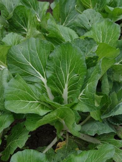 Brassica rapa subsp. chinensis  - Paksoi
