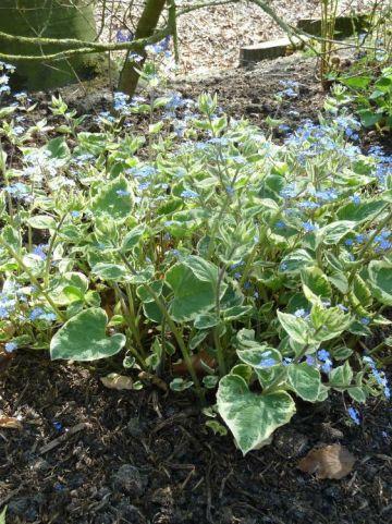 Brunnera macrophylla 'Variegata' - Kaukasische vergeet-mij-niet
