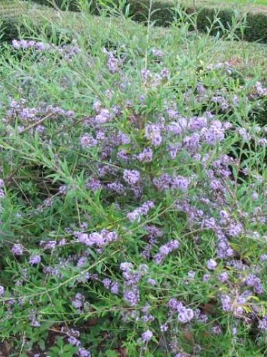Buddleja alternifolia  - Vlinderstruik