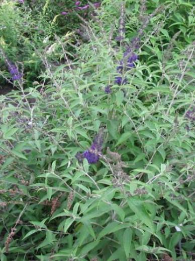 Buddleja davidii 'Adonis Blue' (='Adokeep') - Vlinderstruik