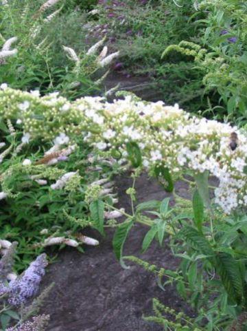 Buddleja davidii 'Dart's Ornamental White' - Vlinderstruik