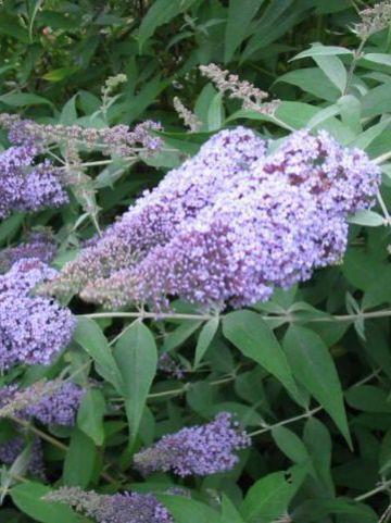 Buddleja davidii 'Dart's Papillon Bleu' - Vlinderstruik