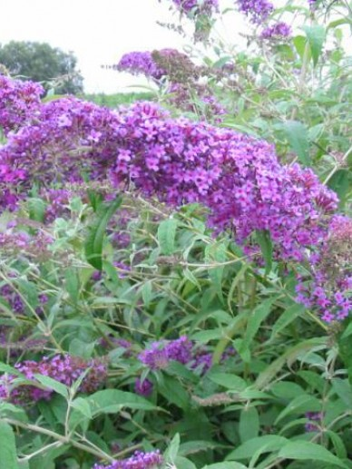 Buddleja davidii 'Dart's Purple Rain' - Vlinderstruik