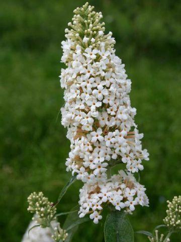 Buddleja davidii 'Marbled White' (='Markeep') - Vlinderstruik