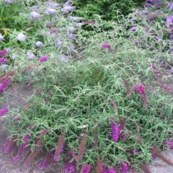 Buddleja davidii 'Nanho Petite Purple' - Vlinderstruik
