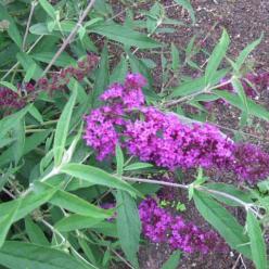 Buddleja davidii 'Nanho Purple' - Vlinderstruik