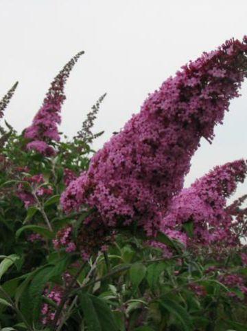 Buddleja davidii 'Pink Delight' - Vlinderstruik