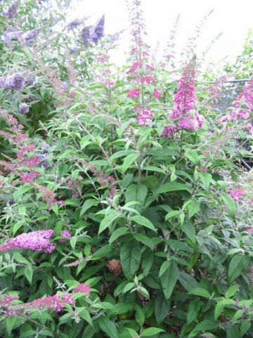 Buddleja davidii 'Pink Perfection' - Vlinderstruik