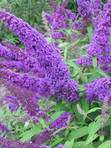 Buddleja davidii 'Purple Emperor' (= 'Pyrkeep') - Vlinderstruik
