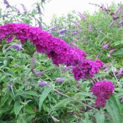 Buddleja davidii 'Royal Purple' - Vlinderstruik