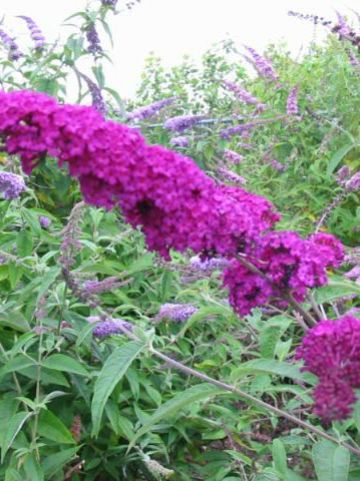 Buddleja davidii 'Royal Purple' - Vlinderstruik