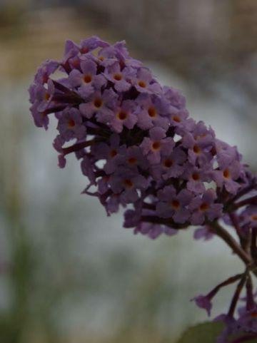Buddleja  'Flutterby Lavender' (='Podaras 11') - Vlinderstruik