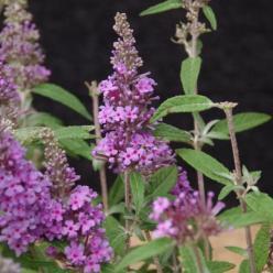 Buddleja  'Buzz Violet' (='Tobudviole') - Vlinderstruik