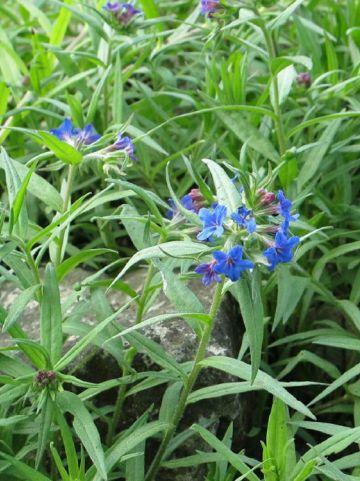 Buglossoides purpurocaerulea  - Purper parelzaad