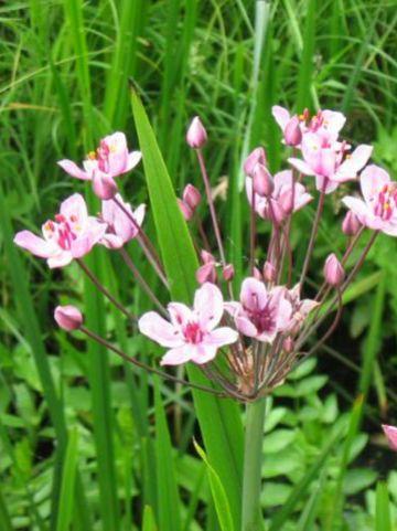 Butomus umbellatus - Zwanenbloem