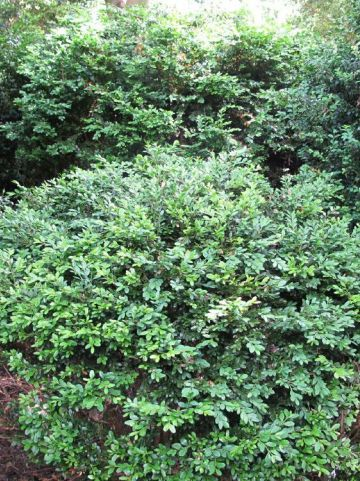 Buxus  'Green Gem' - Randpalm