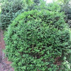 Buxus  'Green Mound' - Randpalm