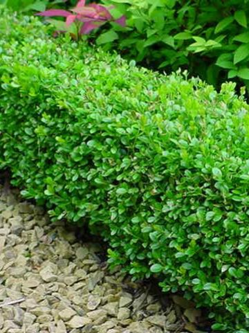 Buxus microphylla 'Faulkner' - Randpalm