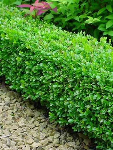 Buxus microphylla 'Faulkner' - Randpalm