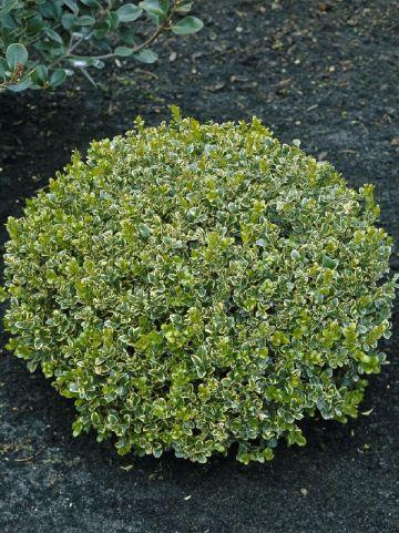 Buxus microphylla 'Golden Triumph' - Bontbladige randpalm
