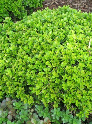 Buxus microphylla 'Morris Dwarf' - Randpalm