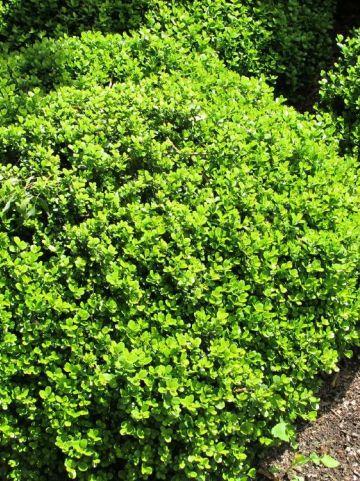 Buxus microphylla 'Morris Midget' - Randpalm