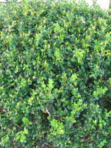 Buxus microphylla 'National' - Randpalm