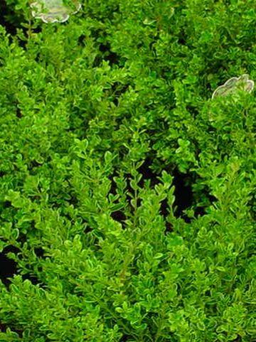 Buxus microphylla 'Golden Dream' (='Peergold') - Bontbladige randpalm