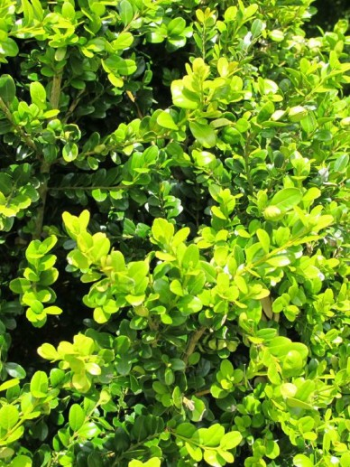 Buxus microphylla 'Sunnyside' - Randpalm
