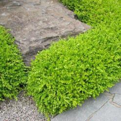 Buxus microphylla 'Trompenburg' - Randpalm