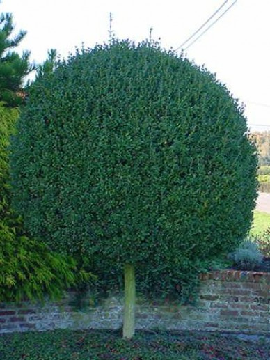 Buxus sempervirens - Palmboompje