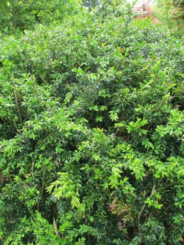 Buxus sempervirens 'Angustifolia' - Randpalm