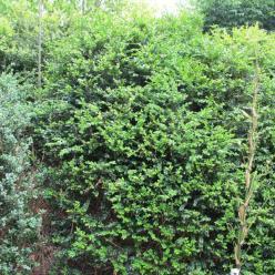 Buxus sempervirens 'Arabeske' - Randpalm