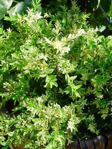 Buxus sempervirens 'Aurea Pendula' - Bontbladige randpalm