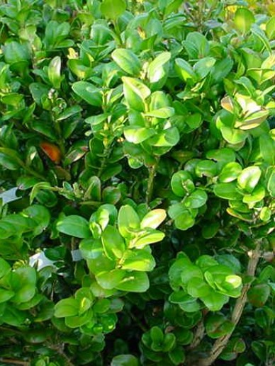 Buxus sempervirens 'Bullata' - Randpalm