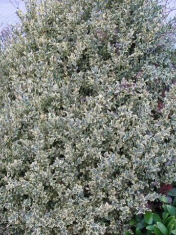 Buxus sempervirens 'Elegans' - Bontbladige randpalm