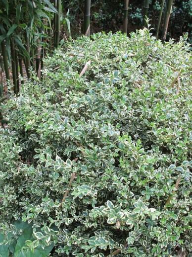 Buxus sempervirens 'Elegantissima' - Bontbladige randpalm