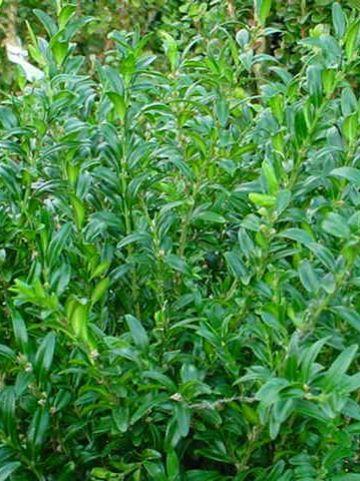 Buxus sempervirens 'Fiesta' - Randpalm