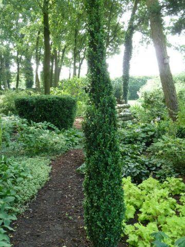 Buxus sempervirens 'Graham Blandy' - Randpalm