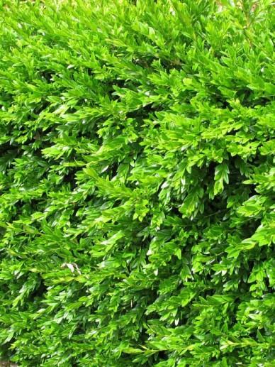 Buxus sempervirens 'Haller' - Randpalm