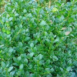 Buxus sempervirens 'Ingrid' - Randpalm