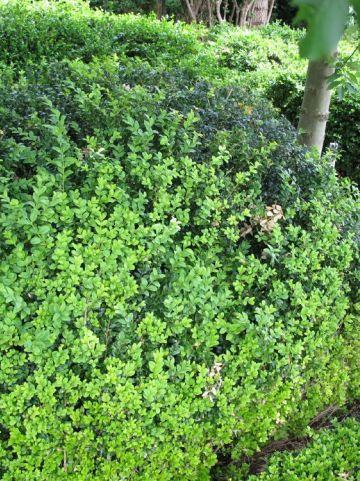 Buxus sempervirens 'King Midas' - Bonte randpalm