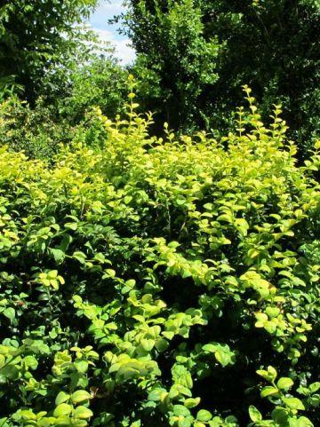 Buxus sempervirens 'Latifolia Maculata' - Bontbladige randpalm
