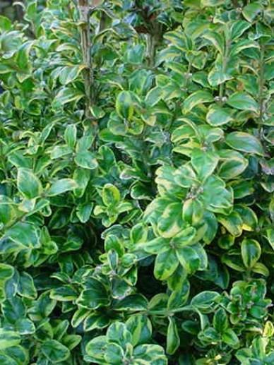 Buxus sempervirens 'Marginata' - Randpalm