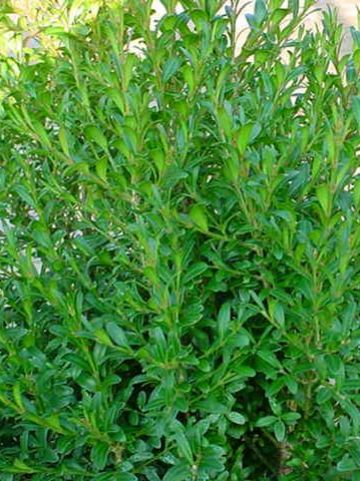 Buxus sempervirens 'Ornament' - Randpalm