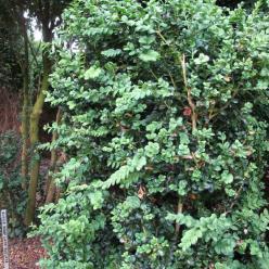 Buxus sempervirens 'Rotundifolia' - Palmboompje , Randpalm